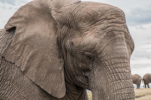 hlava slona